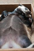 picture of badger  - Funny sleeping young badger animal - JPG