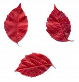 pic of creeper  - Red autumn virginia creeper leaves on white background - JPG