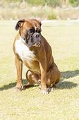 picture of blunt  - A young beautiful fawn red mahogany and white medium sized Boxer puppy dog with cropped ears sitting on the grass - JPG