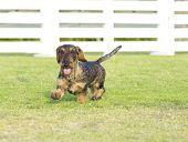 stock photo of long-haired dachshund  - A young beautiful dapple black and tan Wirehaired Dachshund walking on the grass - JPG