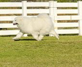 picture of wolf-dog  - A young beautiful white fluffy Samoyed puppy dog walking on the grass - JPG