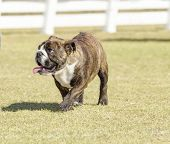 picture of wrinkled face  - A small young beautiful fawn brown brindle and white English Bulldog running on the lawn looking playful and cheerful - JPG