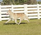 foto of wolf-dog  - A profile view of a young beautiful copper red fawn and white Siberian Husky dog running known for their amazing endurance and willingness to work.They look like wolves.