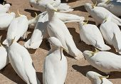 picture of cockatoos  - Many wild cockatoos are being fed by tourists - JPG