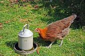 stock photo of bantams  - Brown free range Light Sussex Bantam drinking water from a tin container England UK - JPG
