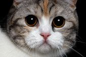 stock photo of portrait british shorthair cat  - close - JPG