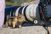 picture of chipmunks  - small chipmunk standing on a large rock looking and figuring out who - JPG