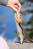 pic of chipmunks  - small chipmunk standing on his hind legs reaching for a peanut - JPG