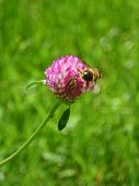 picture of red clover  - Bee collect pollen on red clover flower on green grass background - JPG