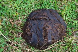 foto of feces  - Cow feces on the ground - JPG