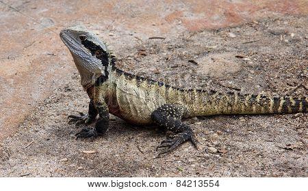 Eastern Australian Water Dragon