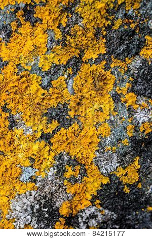 Yellow Lichen And Moss On Gray Stone