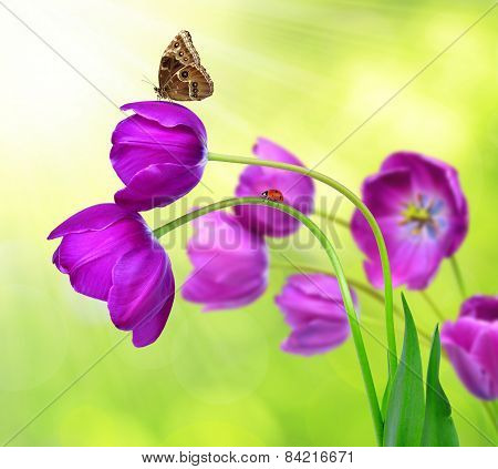 fresh purple tulips with butterfly