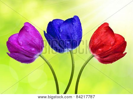 Dewy colorful tulips