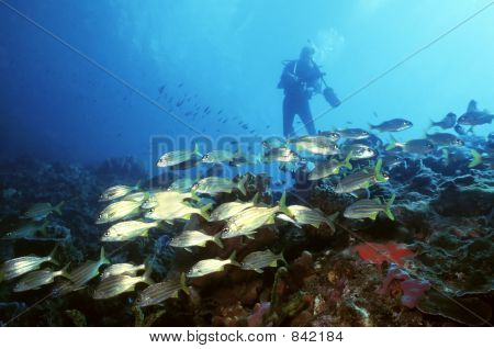 Diver and Yellow Tail Snapper