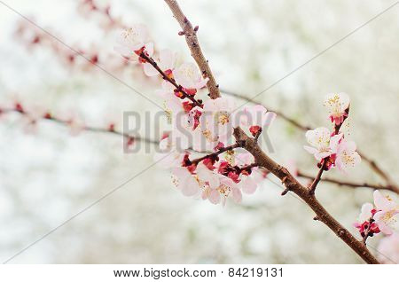Flowers on branches of trees. Spring.