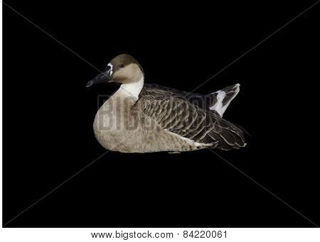 A goose on the background