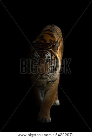 Bengal Tiger In The Dark