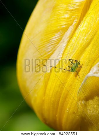 Speckled Bush Cricket Baby