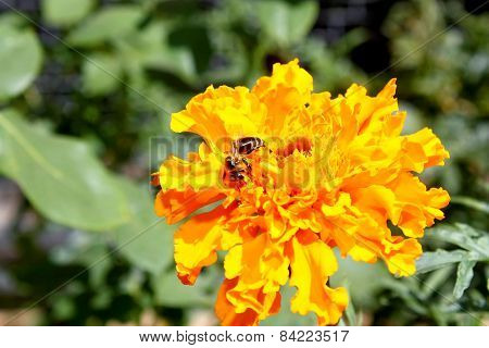 Bee Pollinates A Yellow Flower On A Blurred Background