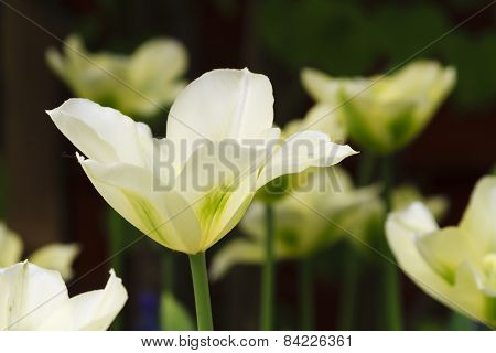 White Tulips On Dark