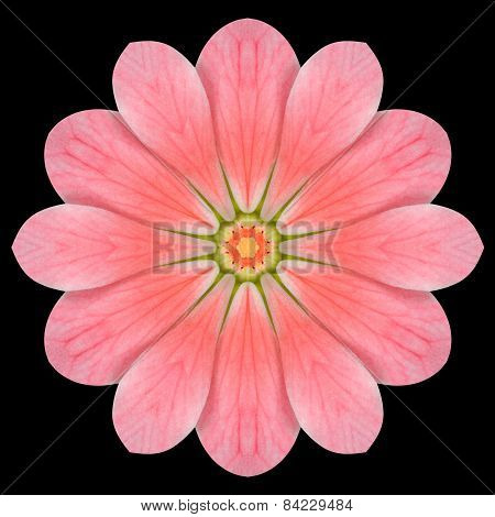 Pink Flower Mandala Kaleidoscope Isolated On Black