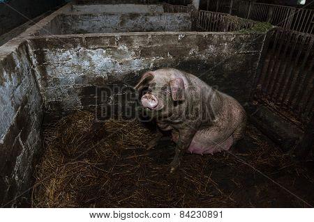 Dirty Pregnant Pig