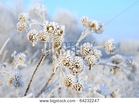 Dry Branch Burdock (arctium Lappa) Under Snow
