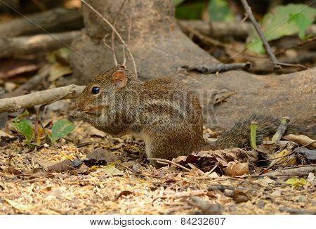 Indochinese Ground Squirrel (menetes Berdmorei)