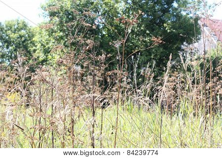 Wild Parsnip-Pastinaca sativa-Seed Head