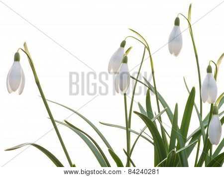 Snowdrops On The White Background