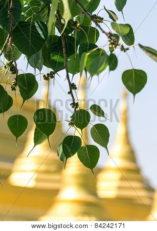 Sacred Fig Leaves With The Temple Background.