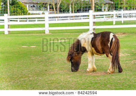 Brown Pony