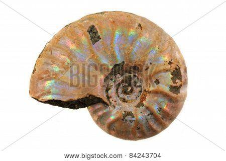 Ammonite Fossil I
