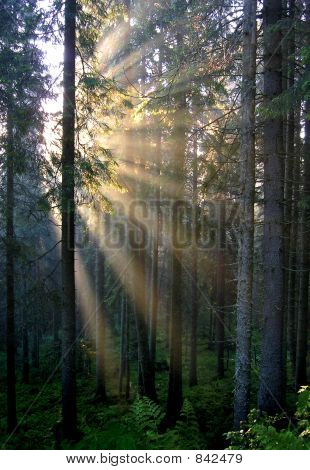 Golden sunrays on a savage fir forest