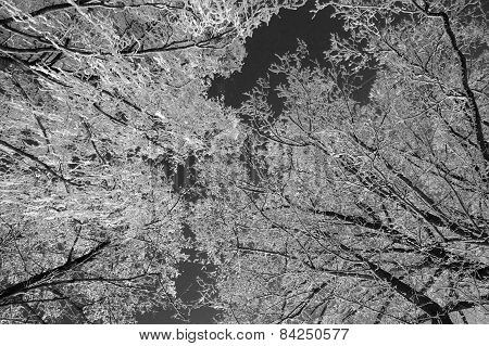 Tree With Snow, Black&white