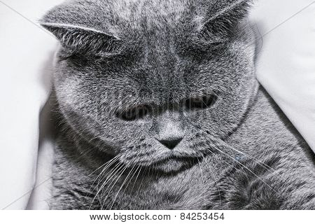 Young Short-haired British Gray Cat