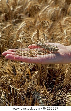 Agricultural Concept, Wheat In Hand