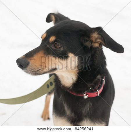 Black And Red Dog In Red Collar Standing On Snow