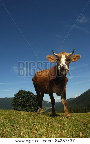 Beautiful Cow In The Meadow Against The Sky