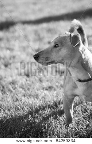 Dog On Lawn Looking Sideways Black And White