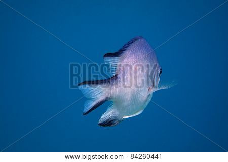 white bellied demoiselle fish in the blue sea while diving