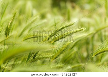 Green wheat.