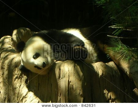 Panda at the Zoo