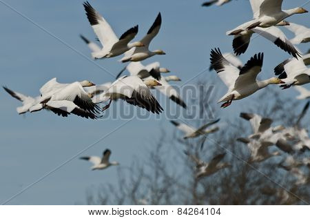 Flock Of Snow Geese Flying Over The Marsh