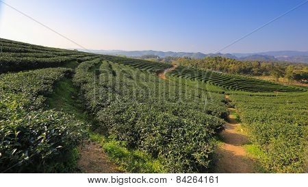Beautiful fresh green tea plantation in Chiangrai, Thailand.