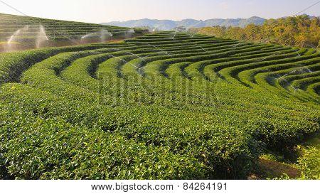 Beautiful fresh green tea plantation.Chiangrai, Thailand.