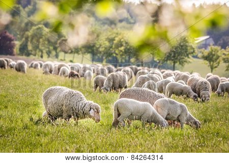 Flock Of Sheep In The Taunus Mountains