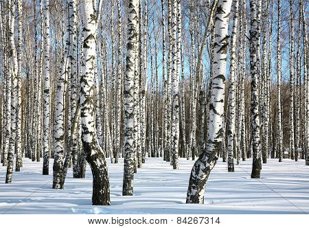 Sunny Winter Birch Grove