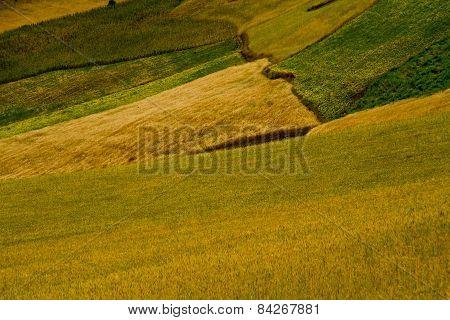 barley plantation in Ecuador